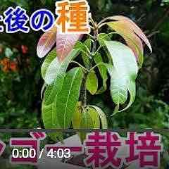 マンゴー植え替え動画