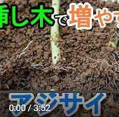 アジサイ挿し木動画