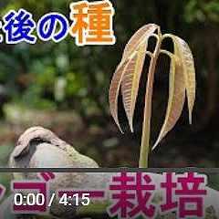 マンゴー出芽動画