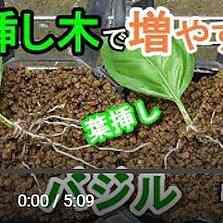 バジルの葉挿し出芽動画
