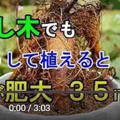 ガジュマル動画2
