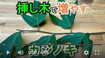 カジノキの挿し木動画1