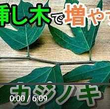 カジノキの挿し木動画