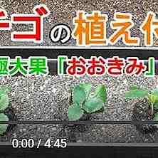 イチゴ苗植え付け動画
