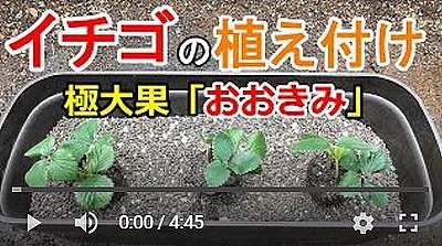 おおきみ苗植え付け動画