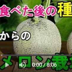 メロン栽培収穫動画