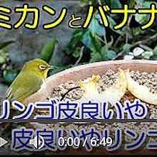 植木鉢バードフィーダー:リンゴ編動画