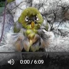 メジロとヒヨの水浴び動画