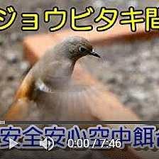 植木鉢バードフィーダー:ミルワーム編Ⅱ動画