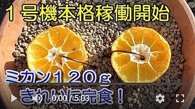 バードフィーダーみかん編動画