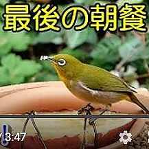 植木鉢バードフィーダー:やきいも動画