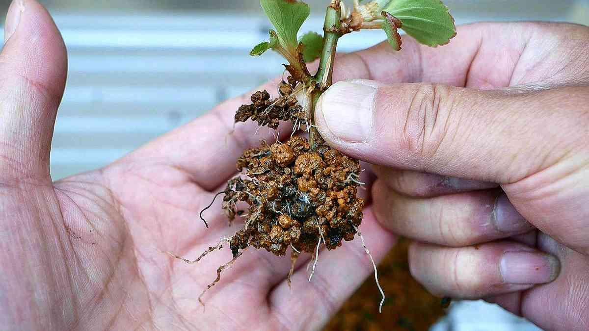 ベゴニアの挿し木 花を咲かせるための挿し穂づくり