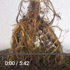ガジュマル根が肥大動画