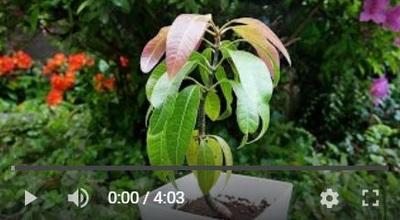 マンゴーの種まき動画3