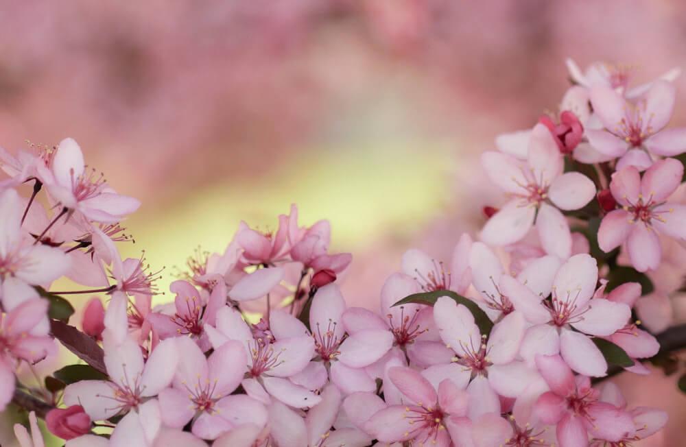 大逆転裁判 1&2 メインビジュアル考察 桜の花 Photo by Aaron Burden on Unsplash