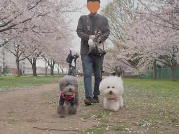 桜さんぽ20200328-1