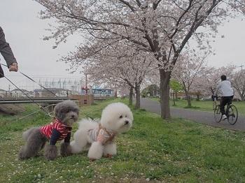 桜さんぽ20200328-4