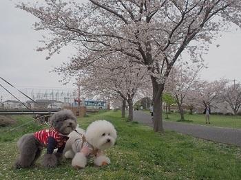 桜さんぽ20200328-5