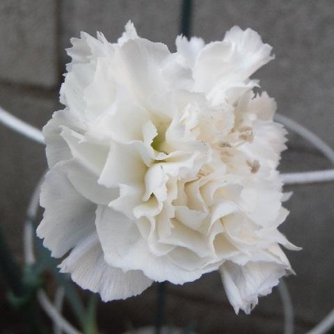 Carnation-waisei-siro1-2020.jpg