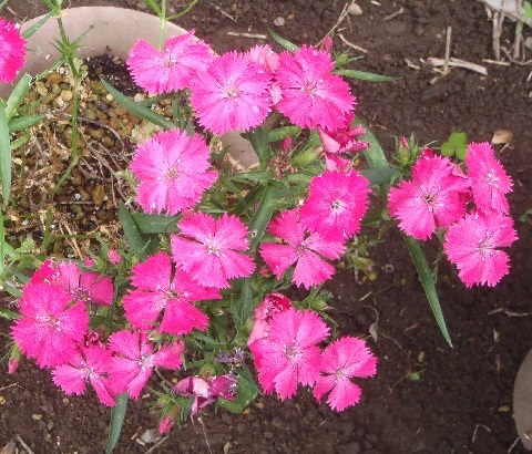 Dianthus_Telstar_Pink_and_White1-2021.jpg