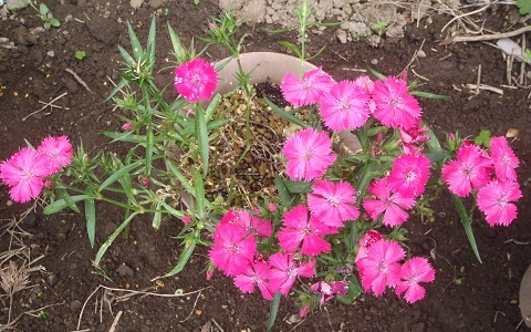 Dianthus_Telstar_Pink_and_White2-2021.jpg