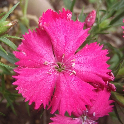 Dianthus_Telstar_Pink_and_White3-2021.jpg