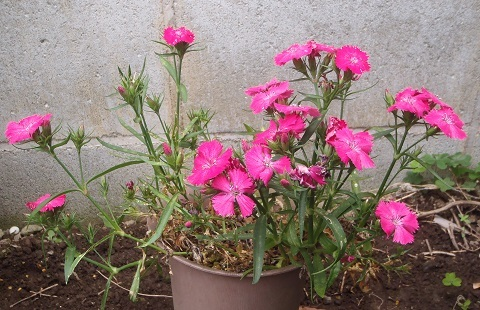 Dianthus_Telstar_Pink_and_White4-2021.jpg