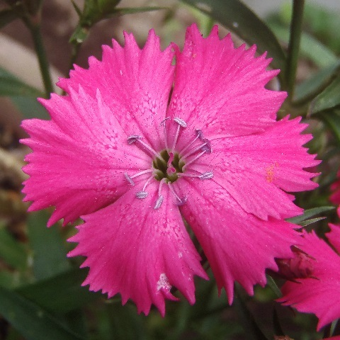 Dianthus_Telstar_Pink_and_White5-2021.jpg