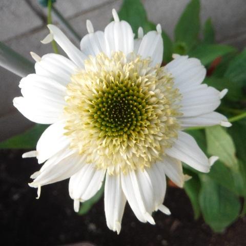 Echinacea-Vanilla_Cupcake1-2020.jpg