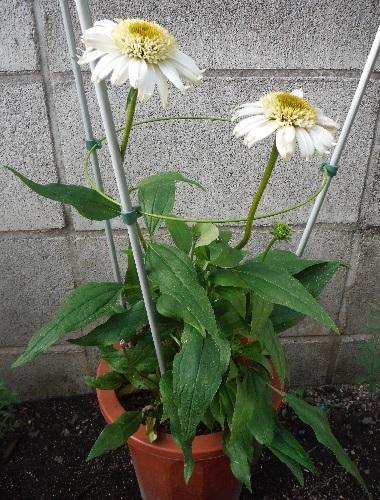 Echinacea-Vanilla_Cupcake4-2020.jpg