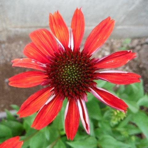 Echinacea_Eccentric1-2020.jpg