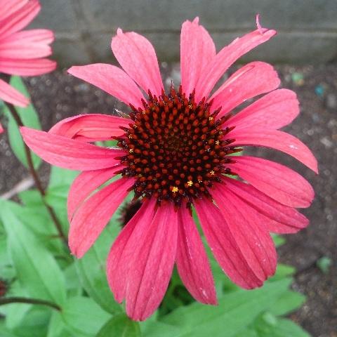 Echinacea_Sun_Seekers_Red1-2020.jpg