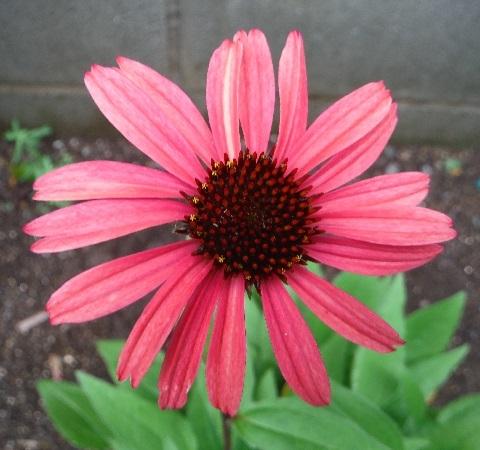 Echinacea_Sun_Seekers_Red2-2020.jpg