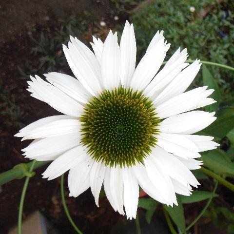 Echinacea_purpurea_Virgin6-2020.jpg