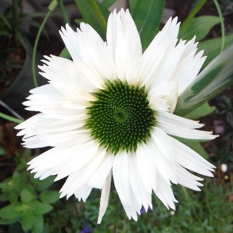 Echinacea_purpurea_Virgin7-2020.jpg