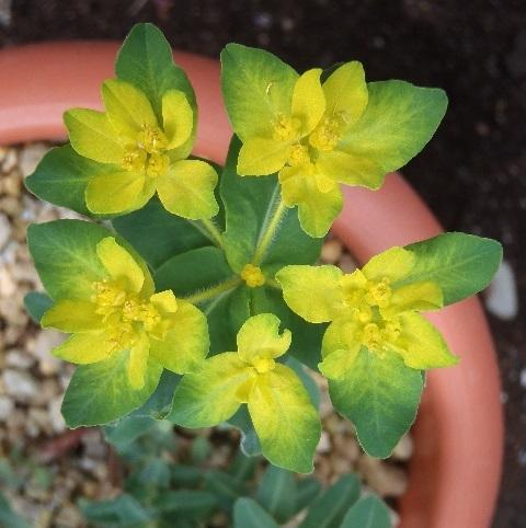 Euphorbia_Polychroma1-2020.jpg