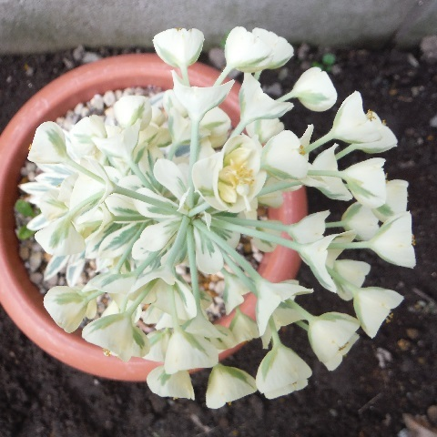 Euphorbia_Tasmanian-Tigerf5-2020.jpg