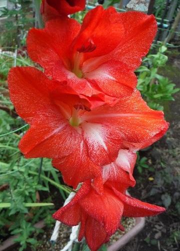 Gladiolus2-2020.jpg