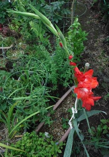 Gladiolus4-2020.jpg