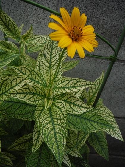 Heliopsis-Loraine_Sunshine2-2020.jpg