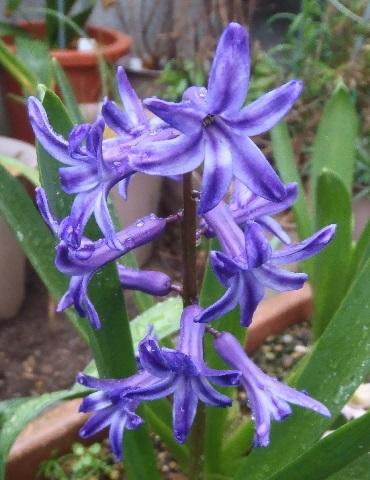 Hyacinthus-Blue_Purple2-2021.jpg