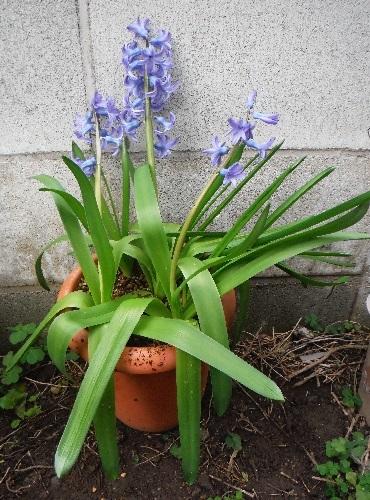 Hyacinthus-Delft_Blue4-2021.jpg