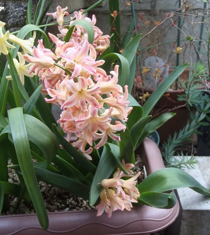 Hyacinthus-Orange3-2020.jpg