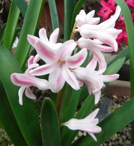 Hyacinthus-PalePink1-2021.jpg