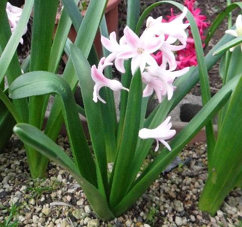 Hyacinthus-PalePink2-2021.jpg