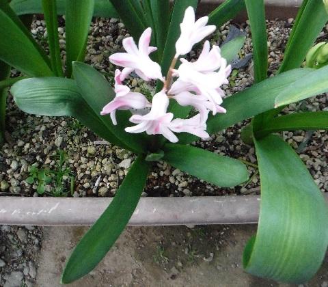 Hyacinthus-PalePink3-2021.jpg