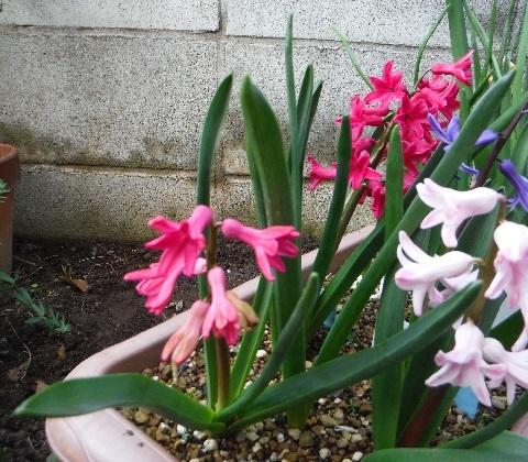Hyacinthus-Pale_Red-Planter3-2020.jpg