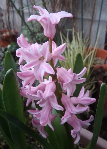 Hyacinthus-Pink1-2021.jpg