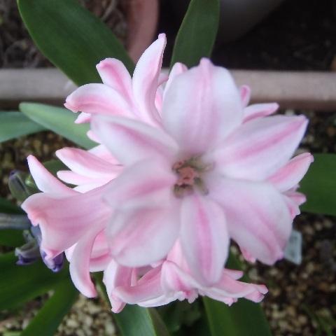 Hyacinthus-Pink2-2021.jpg