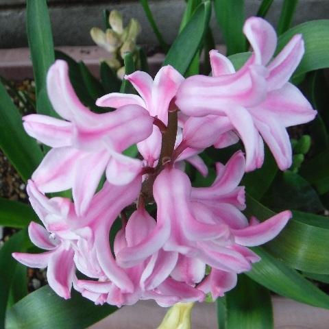 Hyacinthus-Pink3-2020.jpg